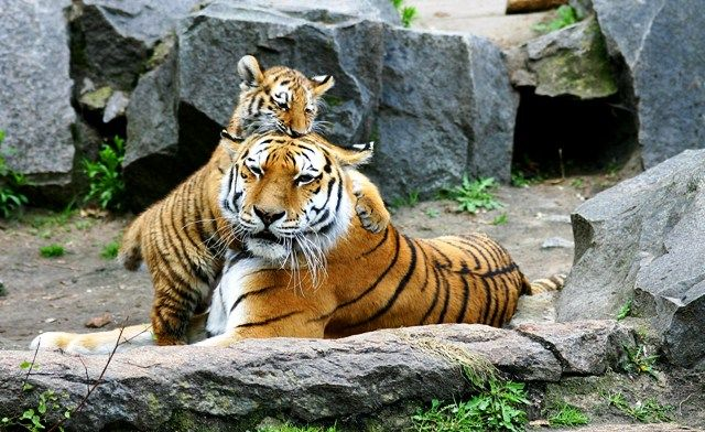 Tigers in Berlin Zoo, Germany