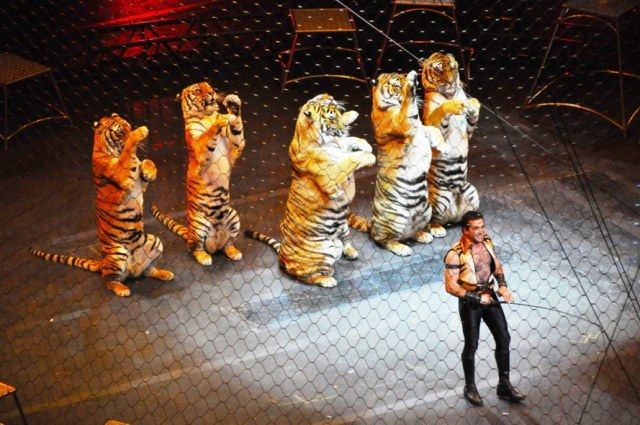 Tigers performing in circus