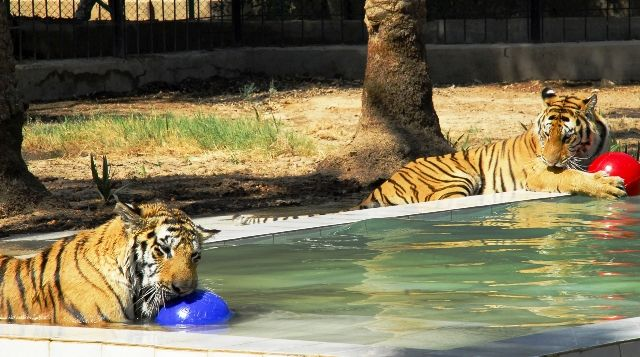 Tigers playing with the ball in swimming pool