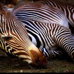 11 Interesting Facts About Zebra