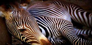 Zebra cover