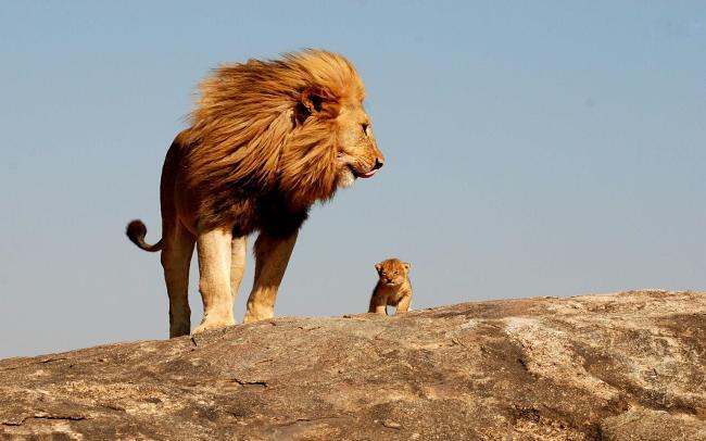 big-lion
