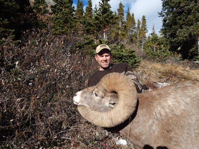 bighorn deer