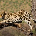 16 Interesting Facts About Leopards