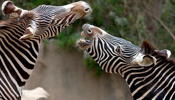 zebra hi