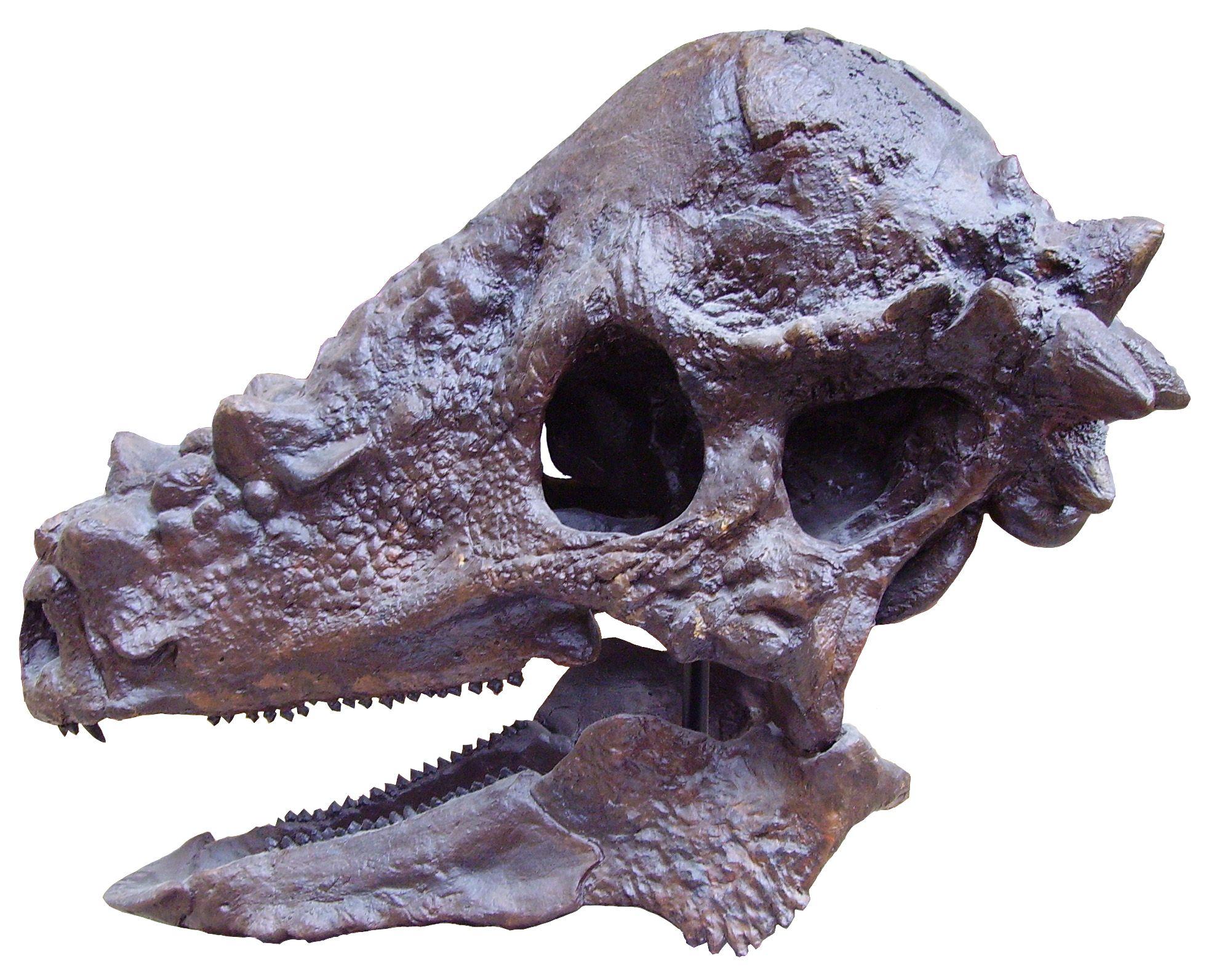 Pachycephalosaurus_skull-