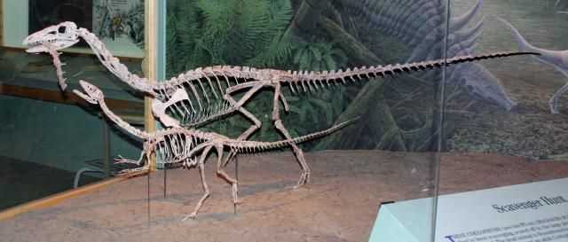 coelophysis female and male