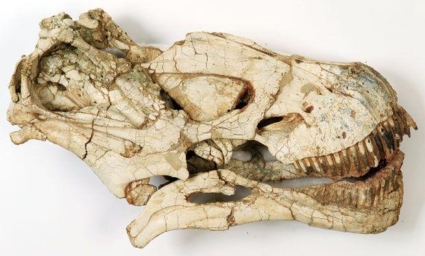 skull of titanosaurus