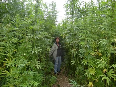 tall hemp