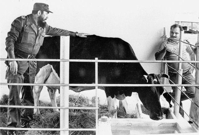 fidel-castro-cow