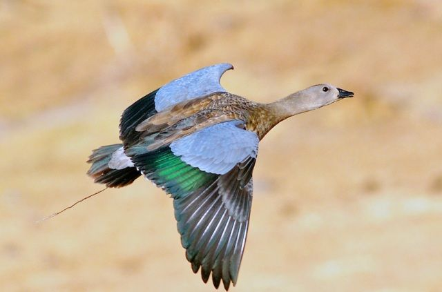 Blue-Winged Goose found in Ethiopian Highlands