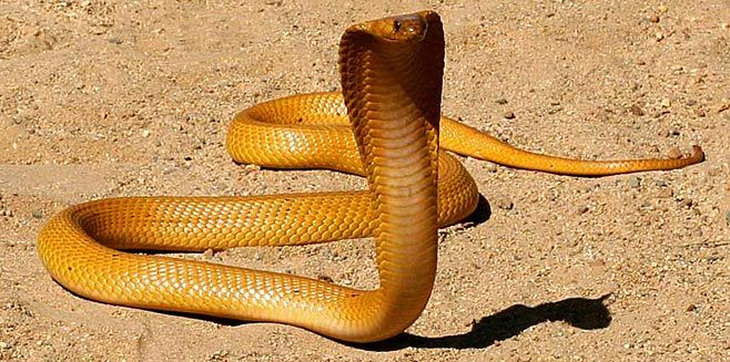 Cape Cobra, South Africa