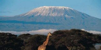 Girafe in Kilimanjaro National Park