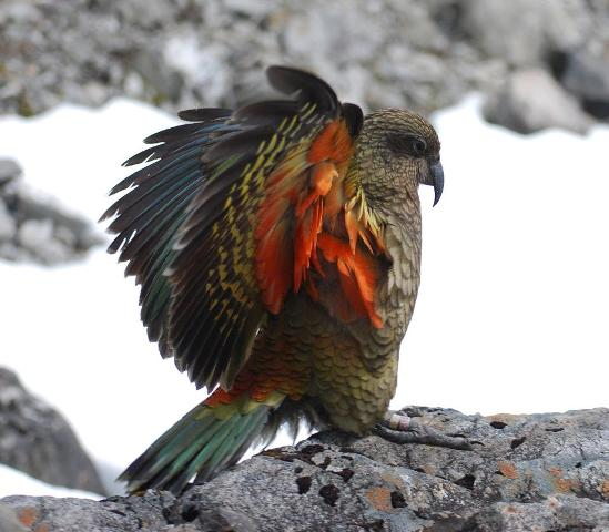 Kea only Alpine Parrot in the World
