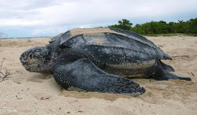 Largest turtle