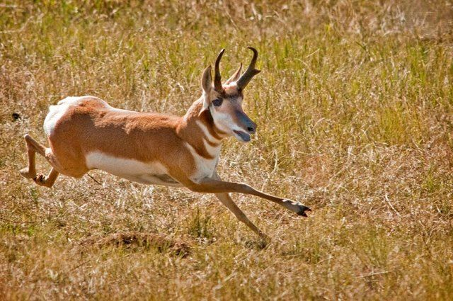Pronghorn, fastest Mammal in Western Hemisphere, running in the Wild