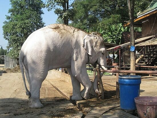 White Elephant of Thailand