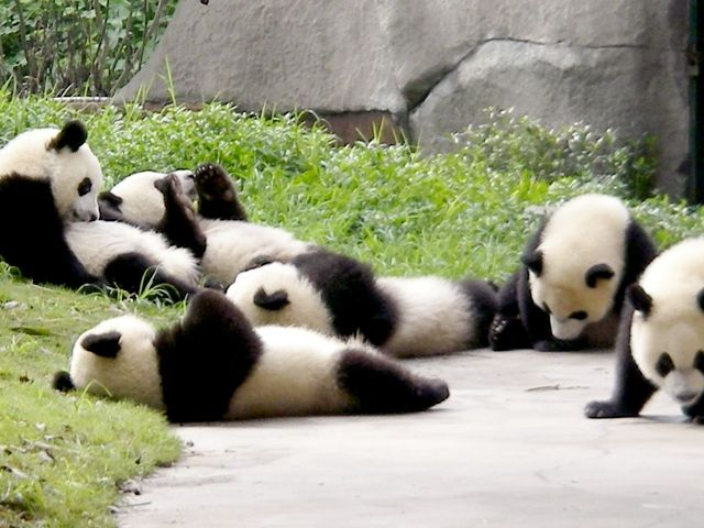 chengdu-pandas-at-play