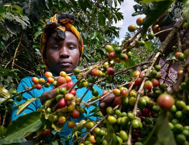 A farmer picking coffee cherries in the Nyeri region of Kenya