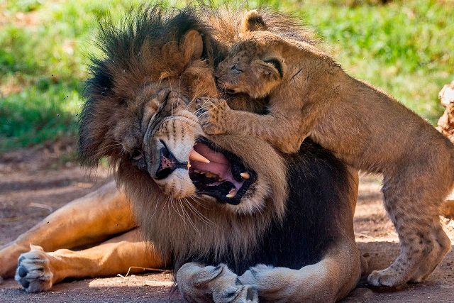Baby Lion Playing with Father