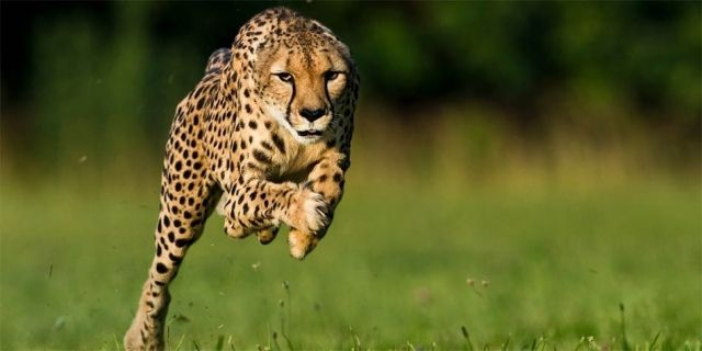 Cheeta, Fastest Running Animal on Planet