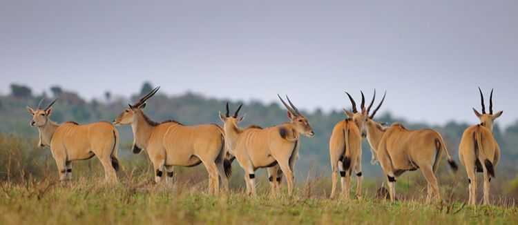 Group of Elands