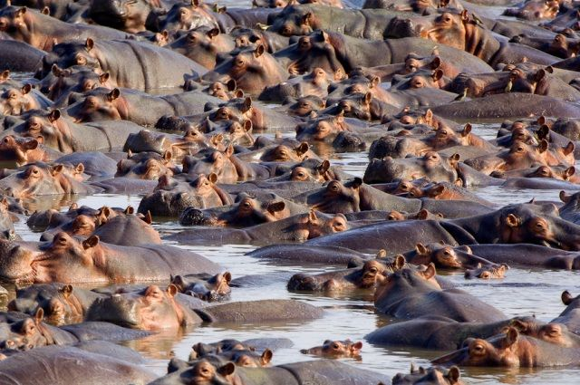 Group of Hippopotamus