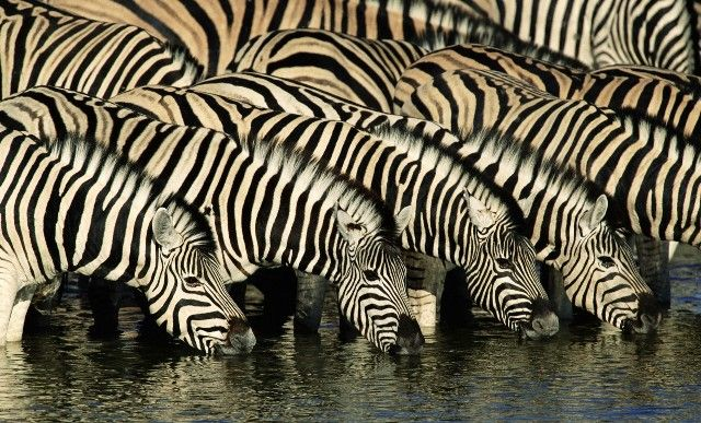 Herd of Zebras drinking water