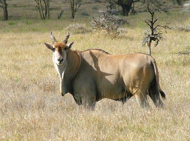 Largest Antelope, Eland