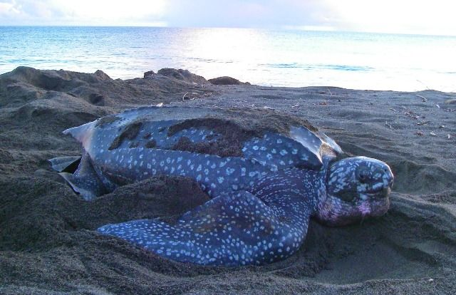 Leatherback Turtle, Largest Reptile