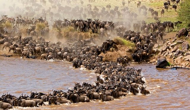 Migration of Wildebeests