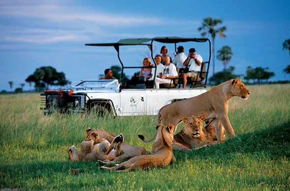 Safari Tour Among Lions