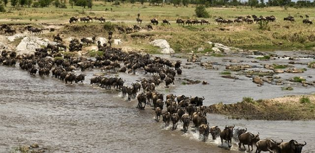 Wildebeest Migration from Serengeti to Masai Mara