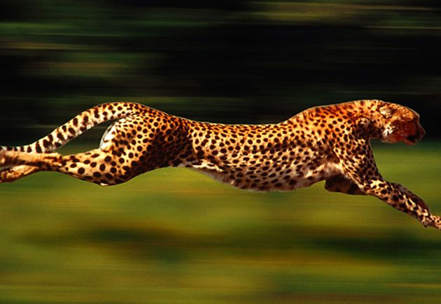 Cheetah, King of Speed