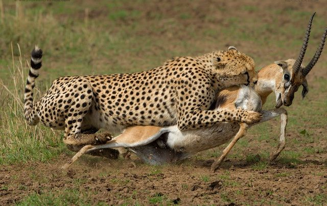 Cheetah hunting gazelle