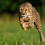 12 Interesting Facts About Cheetah