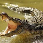 13 Interesting Facts About Crocodiles