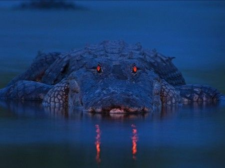 Crocodile vision at night