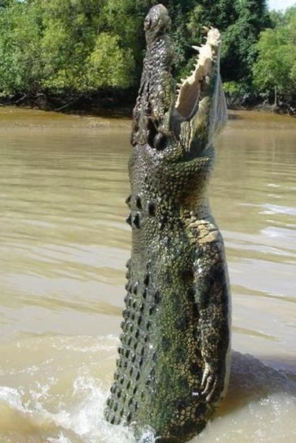 Crocodiles use their solid tail to stand upright in the water