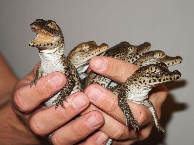 Cuban Baby Crocodiles