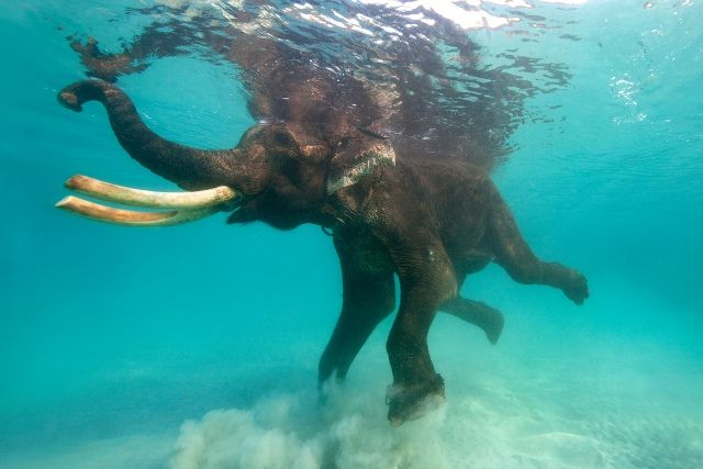 Elephant Swimming in Andaman Sea