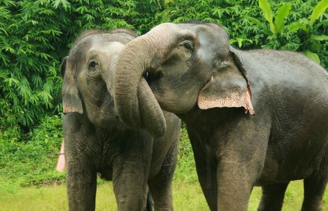 Elephants communicate with each other by touching, stroking