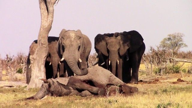 Elephants mourning their relative