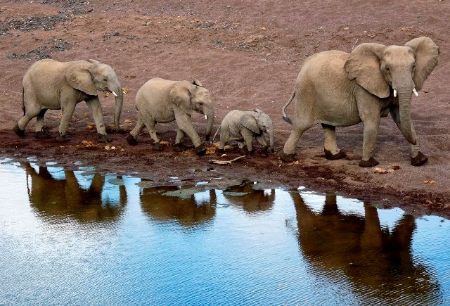 Elephants walking through long route