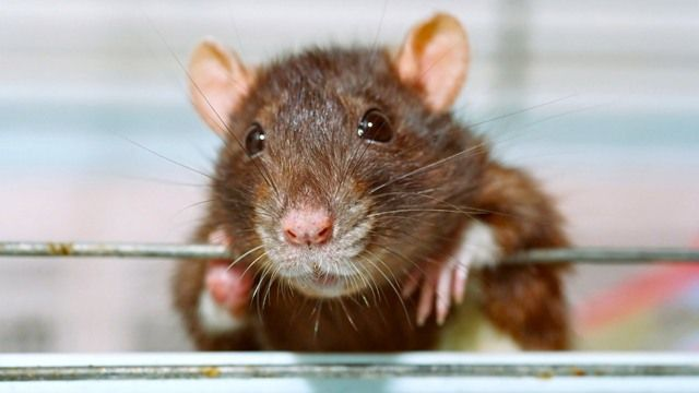 Rats Join Dutch Police Force to Sniff Out Crime