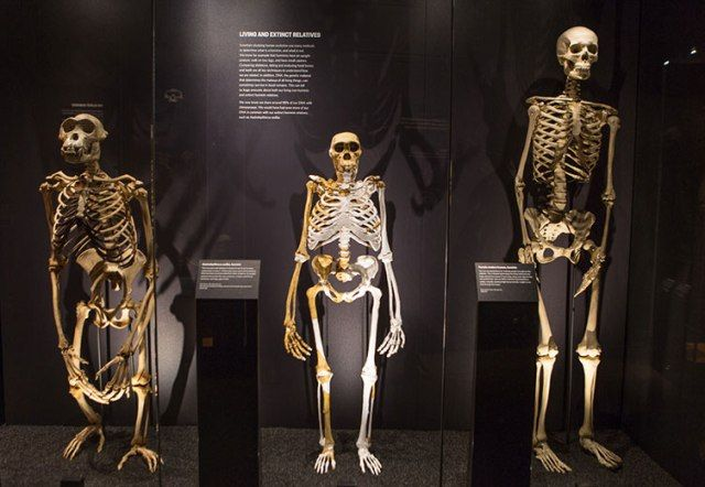 Skeletons of chimpanzee, Australopithecus sediba and a modern human