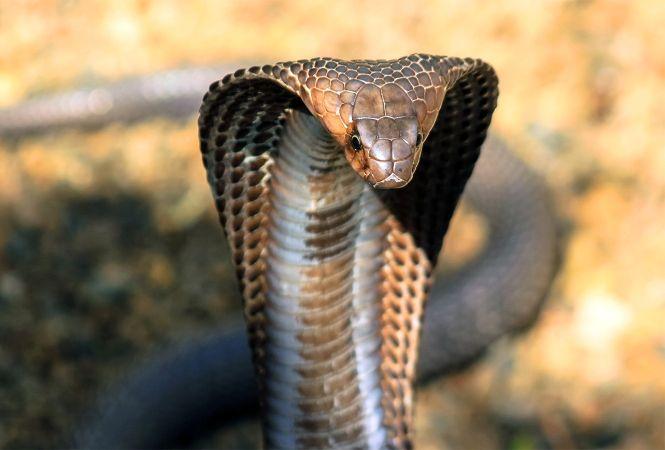 King Cobra hood