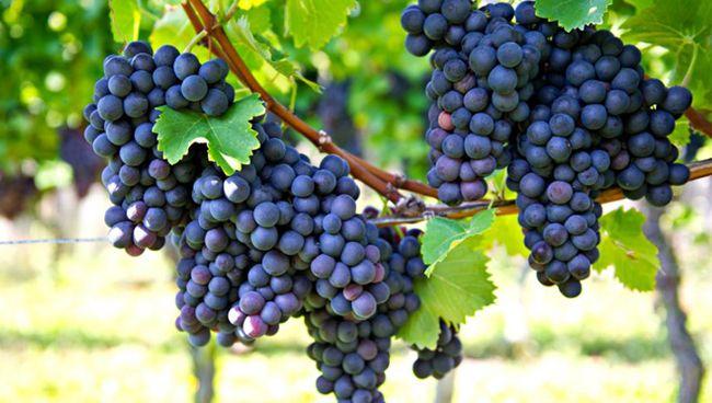 Argentinae Grapes