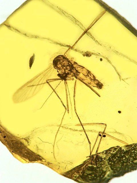 A 15-20 million-year-old mosquito Culex malariager, was discovered in the Dominican Republic preserved in amber