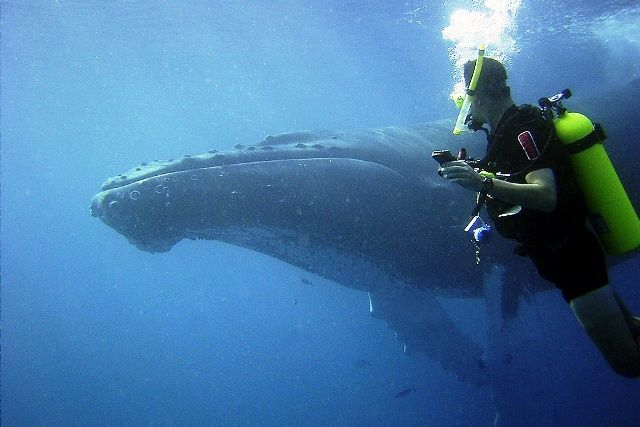 A Diver with Humpback Whale